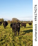 Small photo of Fine pedigree Aberdeen Angus calves, under the watchful eye of one of their mothers on a pasture within the Somerset Levels.