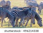 Herd Of Zebras Grazing In The...