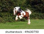 powerful bocking irish cob...   Shutterstock . vector #49630750