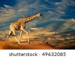 giraffe  giraffa camelopardalis ... | Shutterstock . vector #49632085