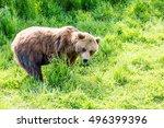 Small photo of An Alaskan brown bear feeding on grass