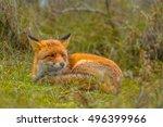Resting European Red Fox ...