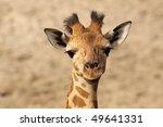 Stock photo baby giraffe looking at you 49641331
