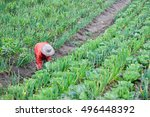 farmer is harvesting in... | Shutterstock . vector #496448392