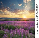 meadow of lavender. nature... | Shutterstock . vector #496473436