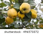 Large Yellow Fruits Quince On...