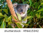 Koala On A Tree Branch ...