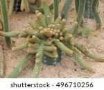 Mammillaria Elongata  Lady...