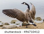 A Canadian Goose With Its Wing...