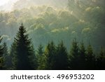 spruce trees in morning light on a hill side. Coniferous forest on foggy sunrise in Carpathian Mountains - stock photo