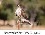 Cooper's Hawk   Accipiter...