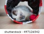 playful ragdoll kitten | Shutterstock . vector #497126542