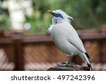 Close Up Of A Bali Myna ...