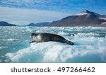 leopard seal resting on blue... | Shutterstock . vector #497266462