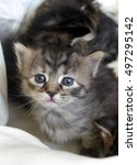 Little Newborn Kitten With Blu...