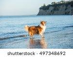 adult scottish shepherd dog... | Shutterstock . vector #497348692