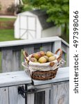 Small photo of A basket with fresh picked Seckel pears. A white shed and green lawn ion the background