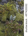 Small photo of Wonderful, garden like natural plant community in the Highlands of Iceland on a rocky volcanic cliff near Porsmork.Including heather, crowberry, moss, lichen