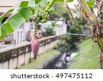 Banana Flower And Bunch Of...