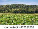 Small photo of A marsh full of American lotus blooms with a tree covered hill in the background.