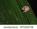 Brown Tree Frog Crawling...
