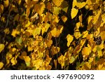 yellow birch leaves hanging on... | Shutterstock . vector #497690092