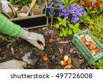 the gardener planted bulbs of... | Shutterstock . vector #497726008
