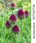 Six Purple Drumstick Alliums I...