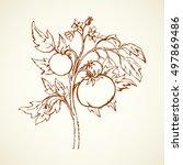 ripe raw big juicy fresh red... | Shutterstock .eps vector #497869486