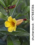 Small photo of Bush Allamanda (Allamanda schottii)