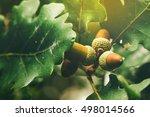 Small photo of Oak tree branch acorn nut as beautiful autumn season background, selective focus