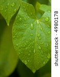 water drop on the leafs after... | Shutterstock . vector #4980178