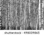 birch forest background  black... | Shutterstock . vector #498039865
