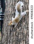 Squirrel Head Down On Tree Trunk