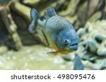Closeup Of A Tropical Piranha...
