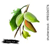terminalia ferdinandiana ... | Shutterstock . vector #498106576