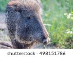 peccary closeup side view | Shutterstock . vector #498151786