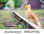 small sad chihuahua dog... | Shutterstock . vector #498229786