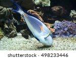 Small photo of Colorful sohal fish (Acanthurus sohal)