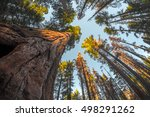 Giant Sequoia Tree In The...