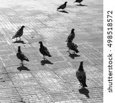 City Pigeons On Pavement  Blac...