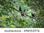 Small photo of Golden Eagle (Aquila chrysaetos) male and female sit on a branch in Mora Beach, Washington state, USA - serial picture 3 of 4
