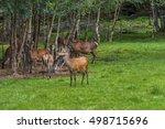 herd of mother elk with spotted ...   Shutterstock . vector #498715696