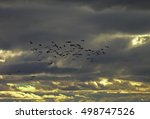 A Flock Of Cranes Flying Under...