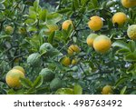 poncirus trifoliata. japanese... | Shutterstock . vector #498763492
