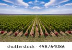 harvesting vineyard in the... | Shutterstock . vector #498764086
