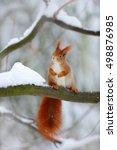 Cute Red Squirrel In Winter...