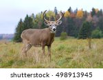 White Tailed Deer Buck In A...