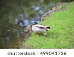 Mallard Duck With Egg Beside A...