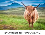 Highland Cow In Isle Of Skye ...